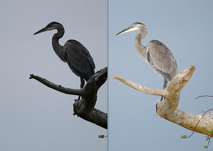 IMAGE: http://www.digitalbirdphotography.com/windows/Accessories/heron-200ft.jpg